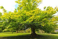 Springtime, green chestnut tree — Stock Photo © Julietart #19819553