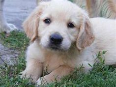Adorable golden retriever pup taking a rest on the lawn #lawncare #puppy