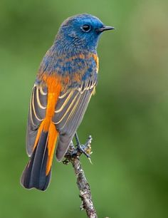 Blue-Fronted Redstart (Phoenicurus frontalis) male