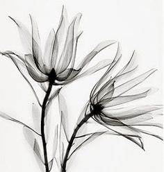 X-ray flowers. This would be a nice floral tattoo but with many other kinds. Xray Flower, Flower Art, Kunst Online, Art Graphique, Botanical Art, Botanical Flowers, Art Plastique, Beautiful Tattoos, Flower Tattoos