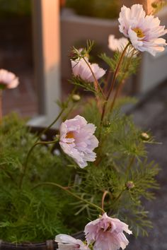 Small Cottage Garden Ideas, My Secret Garden, Cut Flowers, Dream Garden, Garden Pots, Garden Inspiration, Sweet Dreams, Beautiful Gardens, Flower Pots