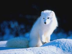 Albino Fox << Uh, no. This is an arctic fox, not albino. Look at its eyes.