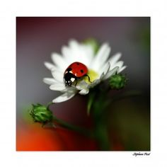 Ladybug by Stéphane Picot Lady Bug, She's A Lady, Animals And Pets, Cute Animals, Small Animals, A Bug's Life, Beautiful Bugs, Bugs And Insects, Jolie Photo