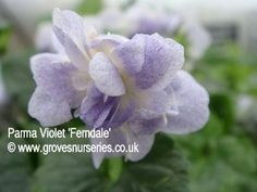 Ferndale Violet.      A pretty double flowered parma violet discovered by Rob Peace in Australia. White but delicately specked with blue. Good perfume. £3.75