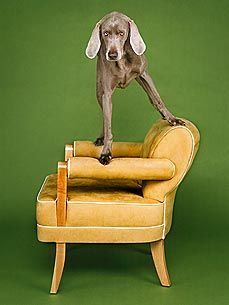William Wegman's Weimaraner