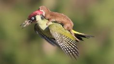 Remarkable photo. Weasel on woodpecker's back. A close up of the image shows the woodpecker in clear distress. It escaped with its life after landing.