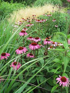 Echinacea 'Rubinstern'.The Beth Chatto Gardens