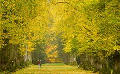 People walk along the autumnal Lime avenue at Westonbirt, The National Arboretum, Gloucestershire – Picture: Adam Gray Fall Pictures, Weird Pictures, European Garden, Rainbow Falls, Orange Leaf, England And Scotland, Woodland Wedding, Autumn Trees, Trees To Plant