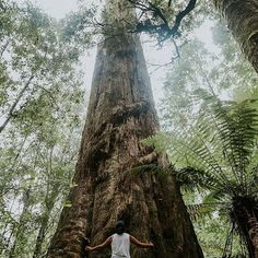 Welcome to the ancient Tarkine in #TasmaniasNorthWest. The plant and animal life here is as rich and varied as the many habitats that support them. It is also an area with a wealth of Aboriginal sites of great archaeological significance. Local wildlife including the Platypus, Echidna, Wombat, Bandicoot, Possum and Glider - not to mention more than a hundred bird species, including several rare and endemic birds that call this place home. The Tarkine is also the migration route taken by the…