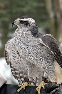 The Northern goshawk is one of several hundred species making its home in this rare, remote mixture of mountain peaks, glaciers and rivers. Read more about the Tongass National Forest: http://www.uhaul.com/SuperGraphics/29/1/Enhanced/Venture-Across-America-and-Canada-Modern/Alaska/Tongass-National-Forest#