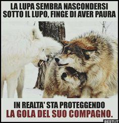 Donde están esas guerreras emprendedoras que de like! Animals And Pets, Baby Animals, Funny Animals, Cute Animals, Mundo Animal, Spirit Animal, Wolf Spirit, Beautiful Creatures, Dog Cat