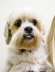 20130127D is an adoptable Lhasa Apso Dog in Moreno Valley, CA. Lets be BFF! Roger ... ...