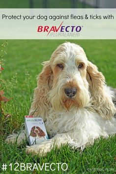 My GBGV Life | Keep your dog flea & tick free for up to 12 weeks with #12BRAVECTO from @MerckAH More info: https://intervetus.naccvp.com/product/view/1047512?e=d97b22ed63e734e84c1a5910a9c8f531z1688 #sponsored