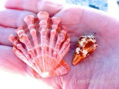Beautiful Lions Paw and an unusual Florida Cone color variation