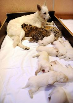 Swiss Shepherd dog, Talli, feeds orphaned tiger cubs and her own cubs. Swiss Shepherd dog, Talli, feeds orphaned tiger cubs and her own cubs. Funny Animals, Cute Animals, Amor Animal, Pet Resort, Baby Puppies, Shepherd Dog, Mans Best Friend, Pet Birds, Pet Adoption