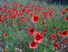 Indian Blanket Wildflowers, Texas the beautiful