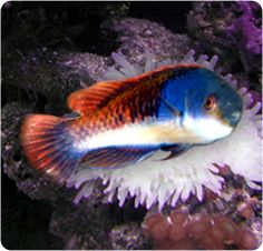 Blue Sided Fairy Wrasse, Yellowflanked Fairy Wrasse - Cirrhilabrus cyanopleura