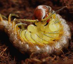 Momma Centipede