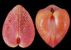 Cardium nemocardium bechei Reeve 1847 Palawan Philippines, 52 mm