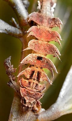 Gumtree Bizarre Lopper Moth - Anisozyga metaspila caterpillar- Family Geometridae