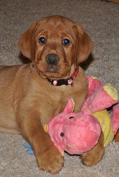 Red Labrador Retriever Puppies Ckc Registered Essex Pleasant