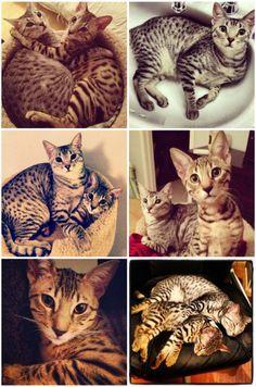 Nylah  Bambu  From BFvsGF Youtube Video. African serval cats.  Savannah.