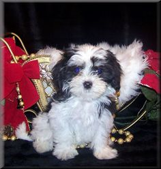 Maltipoo! My future baby (when Sean gives me permission)...Her name will be Phoebe :)