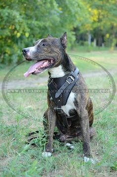 #Amstaff #Leather #Harness With Handle