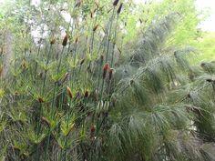 Elegia capensis CHCH 2 - Restionaceae - Wikipedia
