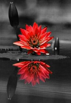 27 Ideas flowers black and white photography color splash for 2019 Splash Photography, Color Photography, Black And White Photography, Amazing Photography, Fashion Photography, Beauty Photography, Black And White Love, Black And White Pictures, Red Black