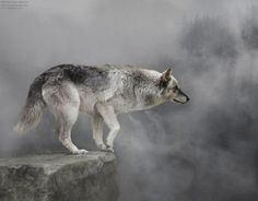 the red and gray wolf on the edge of extinction!! don't let them follow in the footsteps of the dire wolf! help save them!
