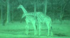 World Secrets – Wild and FREE – Nights at Animal Kingdom Lodge | Disneyways