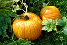 17 Fall Superfoods Move over, watermelon. These falls fruits and veggies are the key to a healthier you When To Harvest Pumpkins, When To Plant Pumpkins, Planting Pumpkins, Fall Harvest, Grow Pumpkins, Autumn, Growing Winter Vegetables, Types Of Pumpkins, Pumpkin Varieties