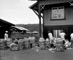 Baguio, Philippines, packing cabbages into baskets to take to market, 1930 Baguio Philippines, Philippines Culture, Baguio City, Filipiniana, University Of Wisconsin, Cabbages, Back In Time, Pinoy, Vintage Pictures