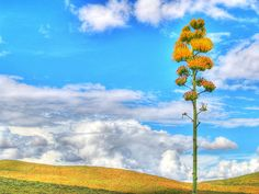 Quiote con flor