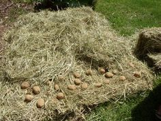 Grow potatoes from hay dirt free