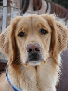 sweet Theo the Golden Retriever