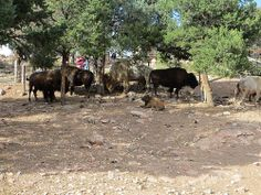 Wonderful picture of the Bison at the Royal Gorge Bridge and Park. Thank you Tammy Madsen.