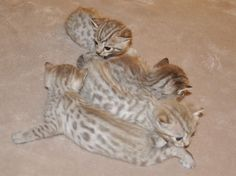 Chinook Snow spotted litter of four Bengal kittens