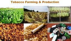 Small Business Ideas | List Of Small Business Ideas: Tobacco Farming Business | Make Money by Tobacco Farm | How to Farm Tobacco