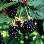 Braam 'Chester Thornless' rubus fruticosa chester thornless. populair ras onder bramentelers, geheel doornloos en kwalitatief goede bramen. zeer groo ten diepzwart. pluktijd aug zelfbestuivend