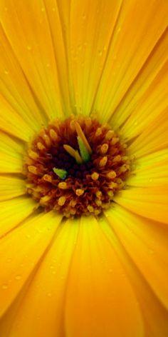 263 best yellow flowers images on pinterest yellow flowers yellow flower mightylinksfo