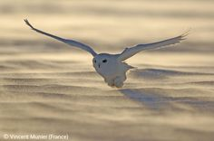 Dusk flight - Vincent Munier - Wildlife Photographer of the Year 2006 : Animal Portraits - Highly commended