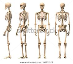 Male Human skeleton, four views, front, back, side and perspective. Scientifically correct, photo realistic 3-D rendering. Clipping path inc...
