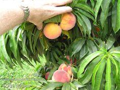 Bonanza Peach Prunus persica Natural Dwarf Patio Peachbr