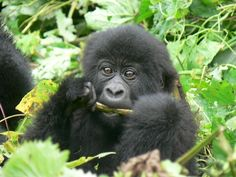 Virunga - More good news regarding the mountain gorilla families. The team of rangers and trackers found 26 members of the Kabirizi family on Wednesday, and yesterday they found the rest – all 33 members! You can help, they need to raise monthly support for our ranger rations in the gorilla sector. Money is tight due to the loss of tourism since the fighting.