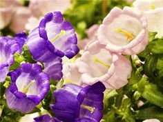 A cottage-garden staple for centuries. Makes a fine cut flower. It was offered by Comstock, Ferre & Co. in Canterbury Bells Easy To Grow Flowers, Growing Flowers, Cut Flowers, Planting Flowers, Cottage Garden Plants, Garden Seeds, Bell Gardens, Seed Shop, Purple Garden
