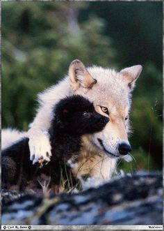 Mother wolf and her pup, posted by Howling for Wolves with Native Drums via Facebook.com