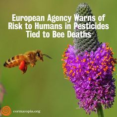 European Agency Warns Of Risk To Humans In Pesticides Tie To Bee Deaths. Read Here: http://www.cornucopia.org/2013/12/european-agency-warns-risk-humans-pesticides-tied-bee-deaths