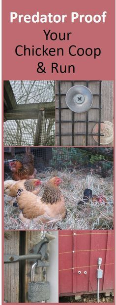 Predator proofing tips. Elevate the coop, enclose runs with properly secured half inch hardware cloth, create a skirt or underground fence, padlock the doors, and surround with electric wire in bear country. Chicken Coop Run, Portable Chicken Coop, Chicken Coup, Backyard Chicken Coops, Building A Chicken Coop, Chicken Runs, Chickens Backyard, Chicken Life, Chicken Houses